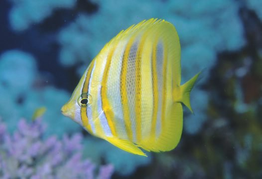 Rainford's Butterflyfish, <i>Chaetodon rainfordi</i>