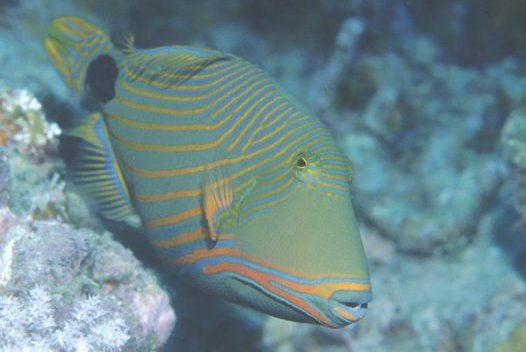 Orangestripe Triggerfish