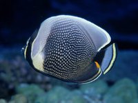 Reticulated Butterflyfish,<i> Chaetodon reticulatus</i>