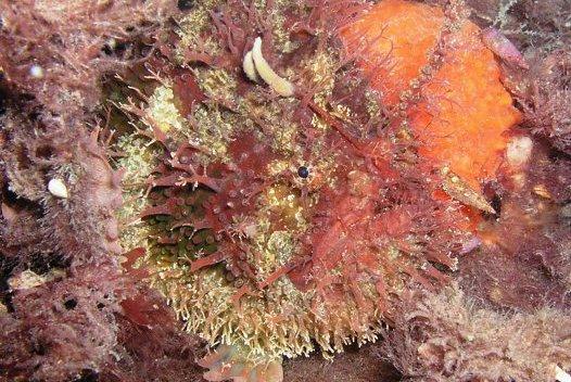 Tasselled Anglerfish