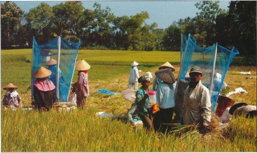 Rice Harvest - Sayan near Bali