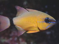 Ring-tail Cardinalfish, <i>Ostorhinchus aureus</i>