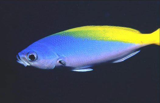 Yellow and Blueback Fusilier