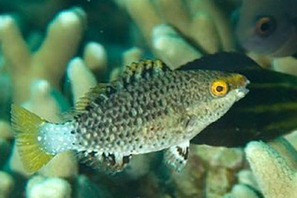 Juvenile Mini-fin Parrotfish, <i>Scarus altipinnis</i>