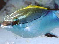 Two-line Monocle Bream, Scolopsis bilineata