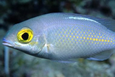 Saw-jawed Monocle Bream,<i> Scolopsis ciliata</i>
