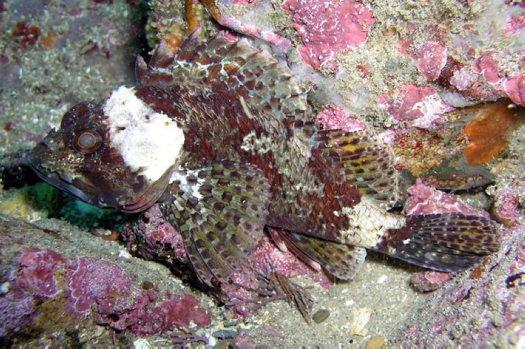 Southern Red Scorpionfish, Scorpaena papillosa