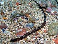 Ringback Pipefish, <i>Stipecampus cristatus</i>