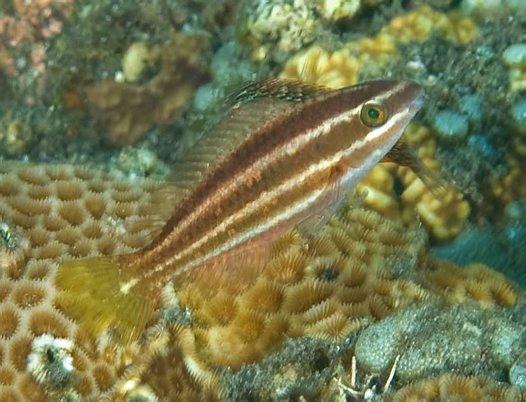 Juvenile Whitespot Parrotfish