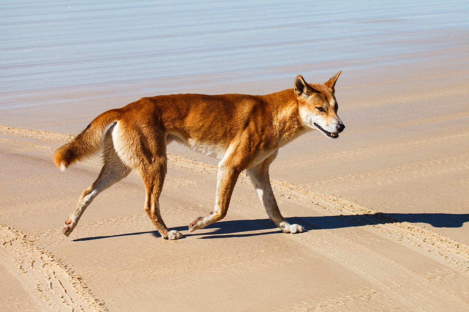Dingo from Fraser Island, Queensland, on the north-east coast of Australia