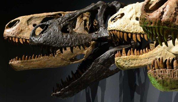 Tyrannosaur skulls