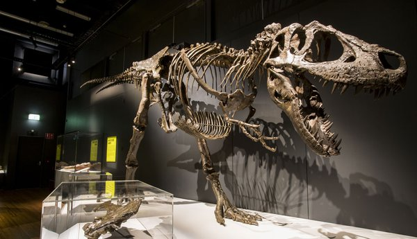 1 of 5 complete tyrannosaur cast skeletons.