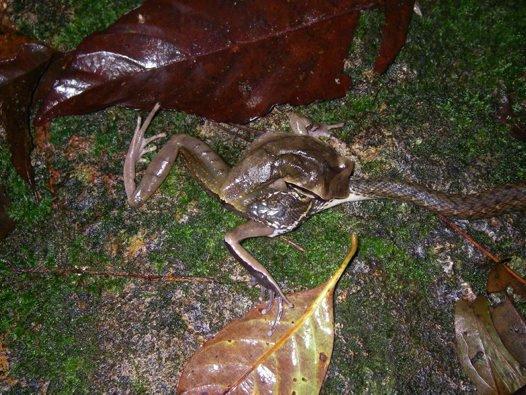 Sanke eats frog eats snake