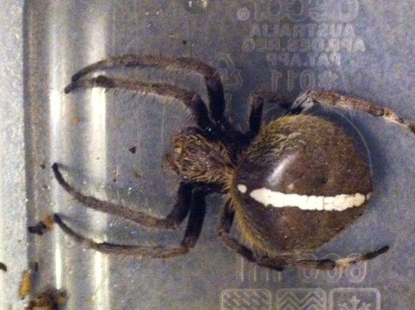 Garden orb-weaver Spider