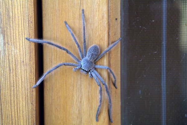 A young huntsman spider