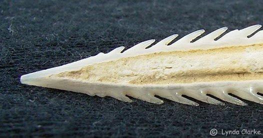 Stinging spine from a Black Stingray
