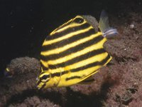 Stripey with a parasitic fish louse on its tail