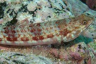 Variegated Lizardfish, Synodus variegatus