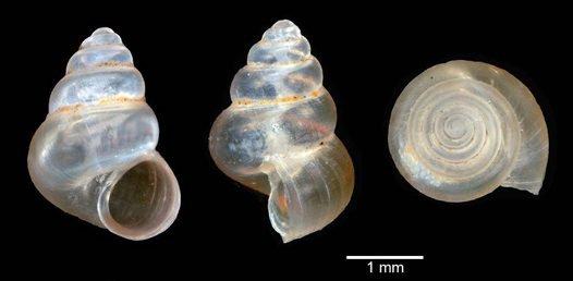 Taiwanassiminea phantasma shell
