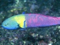 Bluehead Wrasse, Thalassoma amblycephalum