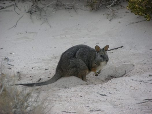 A Tammar Wallaby digs for tree roots