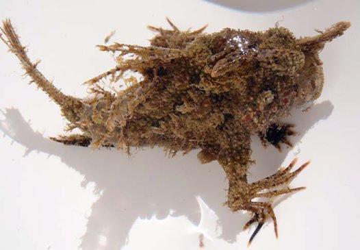 Blackspot Anglerfish, Tathicarpus butleri