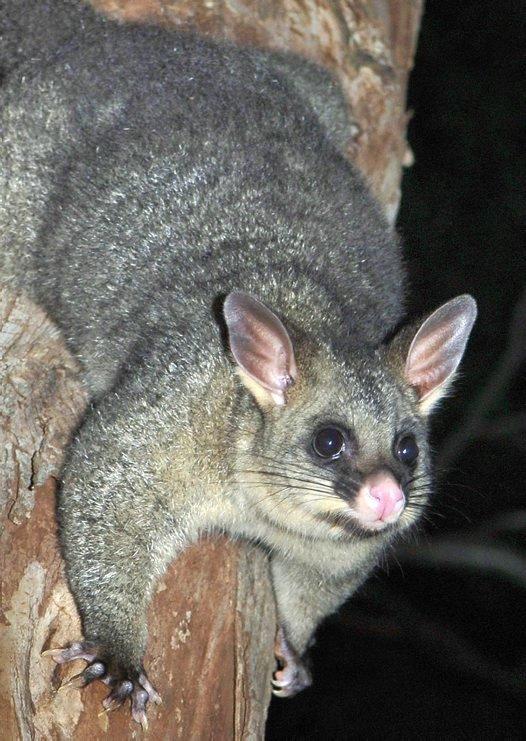 Possum with Telephoto lens