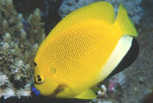Three-Spot Angelfish
