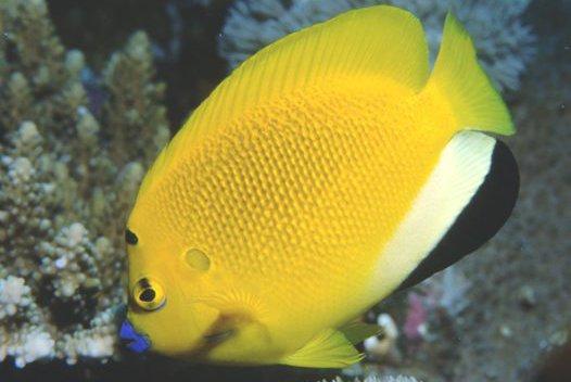 Three-Spot Angelfish