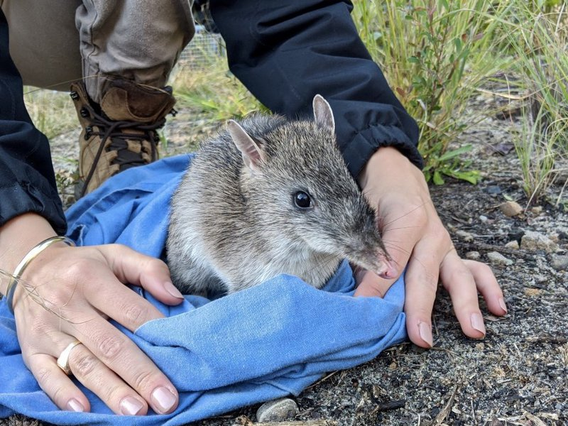 A Long-nosed bandicoot being released during a NPWS biannual monitoring survey on North Head