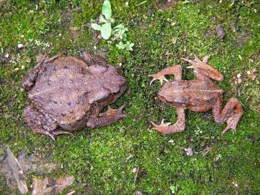 Female and male toads