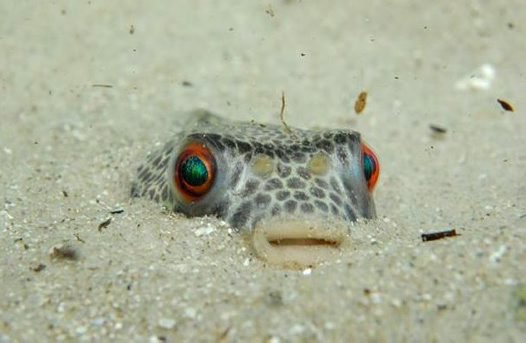 Smooth Toadfish buried in the sand