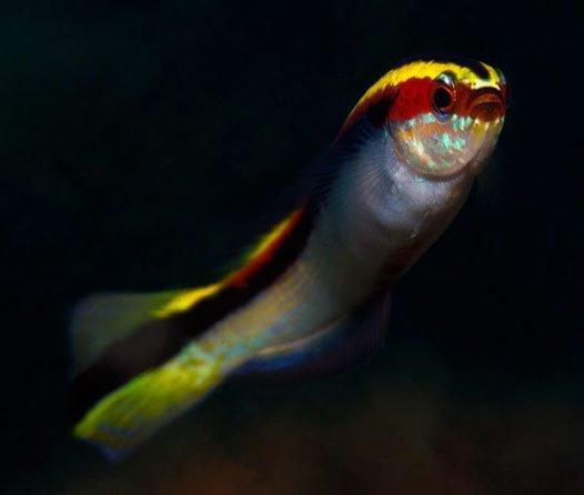 Eastern Hulafish