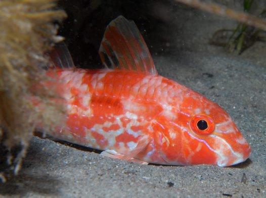 Bluespotted Goatfish, Upeneichthys vlamingii