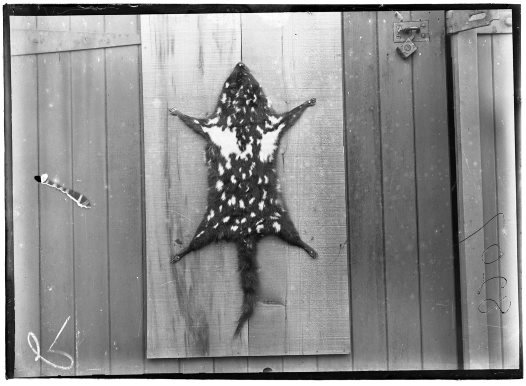 Eastern Quoll Skin 1914
