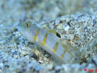 Decorated Glidergoby