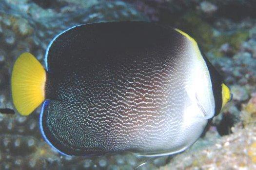 Vermiculated Angelfish, Chaetodontoplus mesoleucus