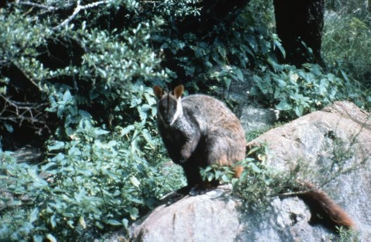 A brush-tailed rock-wallaby (Petrogale penicillataon)