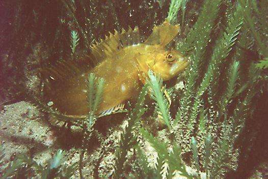 Crested Weedfish