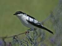 White-winged Triller