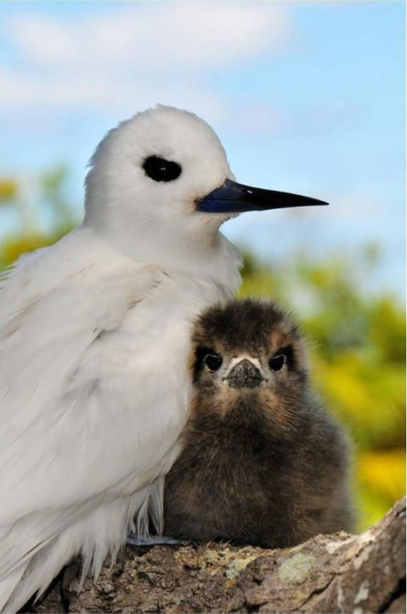 White tern and her chick