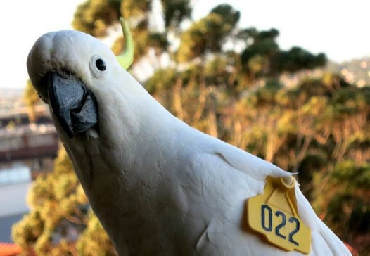 Cockatoo with a WingTag