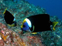 Two Queensland Yellowtail Angelfish