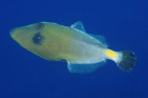 Yellowstriped Leatherjacket