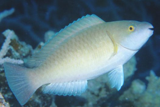 Initial phase Yellowfin Parrotfish