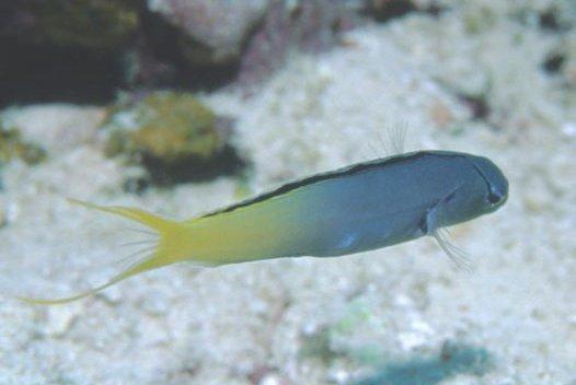 Yellowtail Fang Blenny