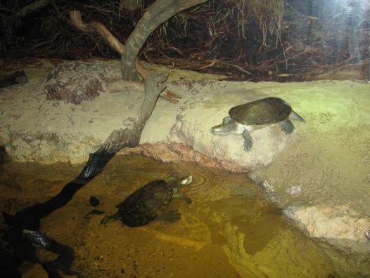 Krefft's Turtles