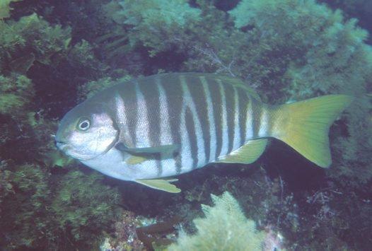 Zebrafish, Girella zebra