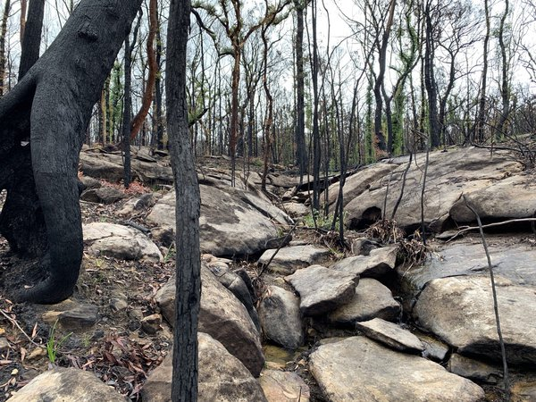 New growth emerges from a landscape scarred by bushfires in summer 2020 in the Blue Mountains.