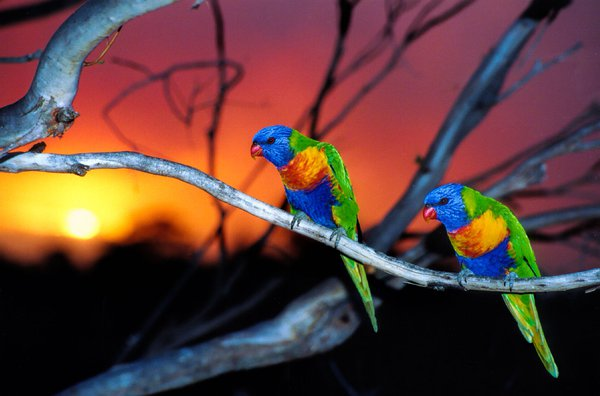 Wildlife 🐦 and Bushfires🔥. The sun 🌄 was bright orange and sky turned red. The lorikeets look anxious. Our thoughts and prayers for communities that have suffered terribly from bushfires around Australia and our thanks to those who help to fight the fires like#NSWRFSand#NSWFIRES